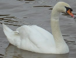 A male swan on the Worecster & Birmingham canal